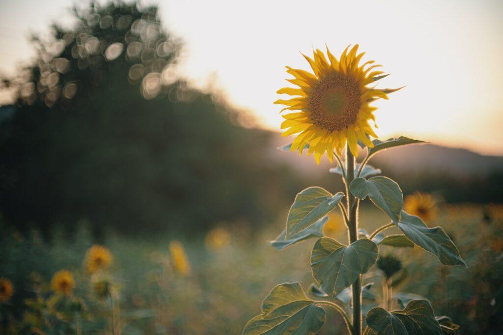 Sonnenblume vor Sonnenblumenfeld in Abenddämmerung
